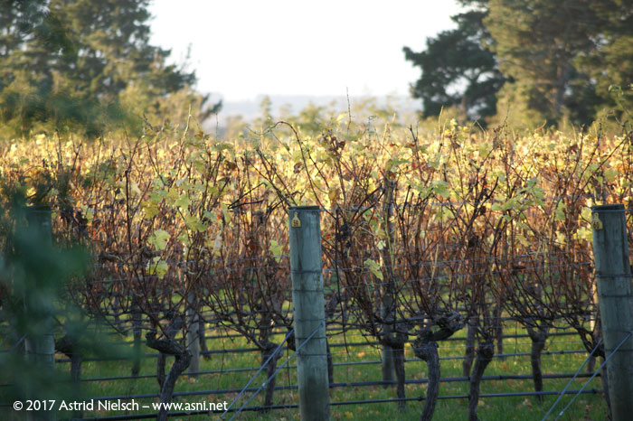 Martinborough wineyards, Wairarapa