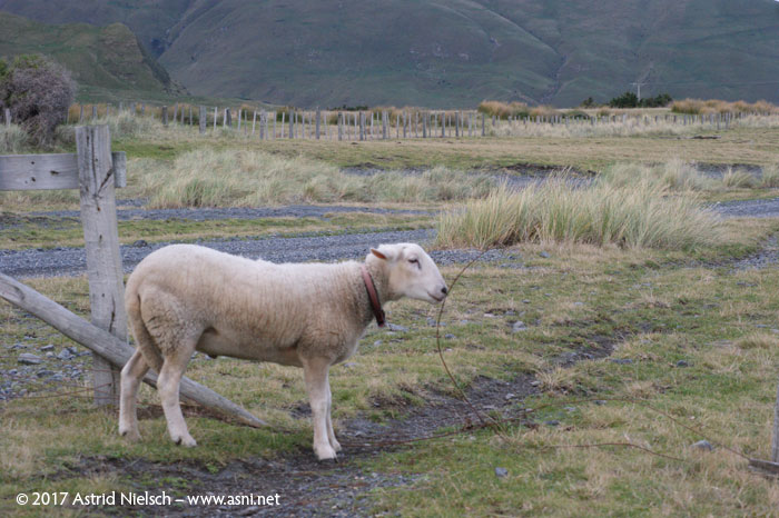 Tiny Tim at White Rock: To boldly go where no sheep went before