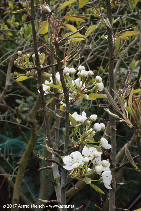 Fruit tree blossoms in the garden, spring 2017