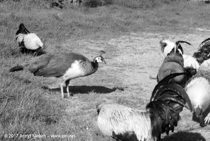 Peahen: keeping the boys in order