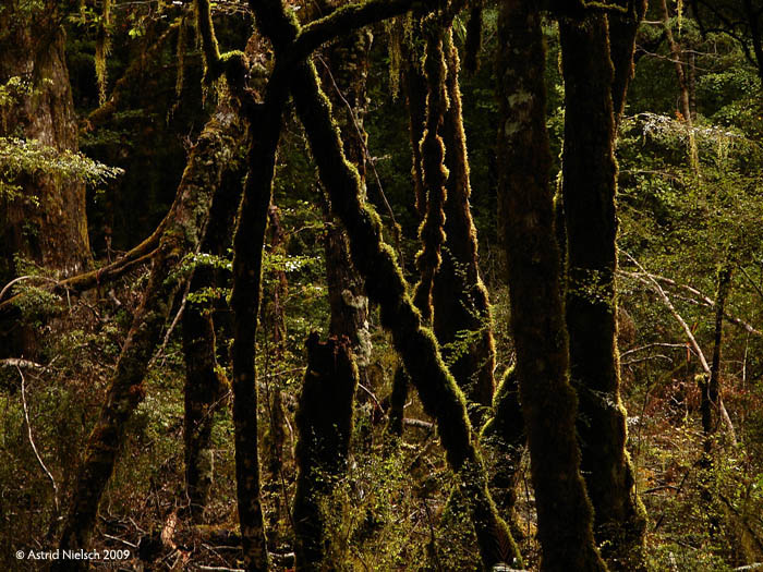 photo: Kepler track: mossy trees