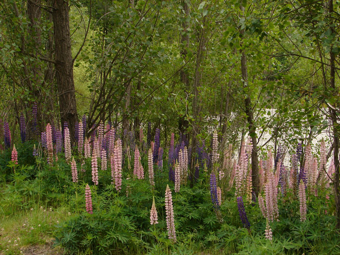 photo: Lupins by the Arrow river