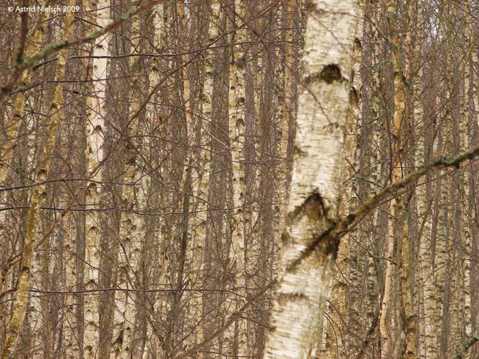 photo: birch forest