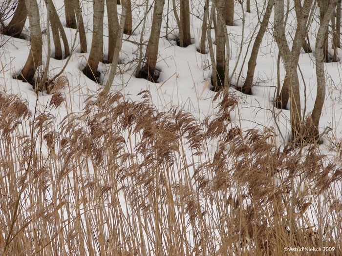 photo: snow and tree trunks