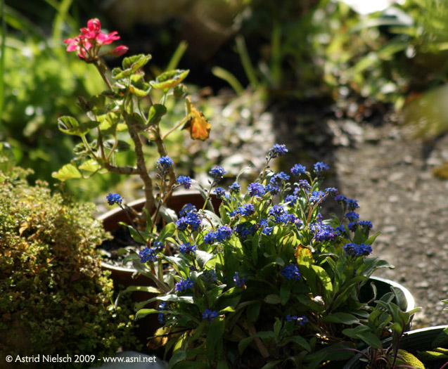 photo: forget-me-nots