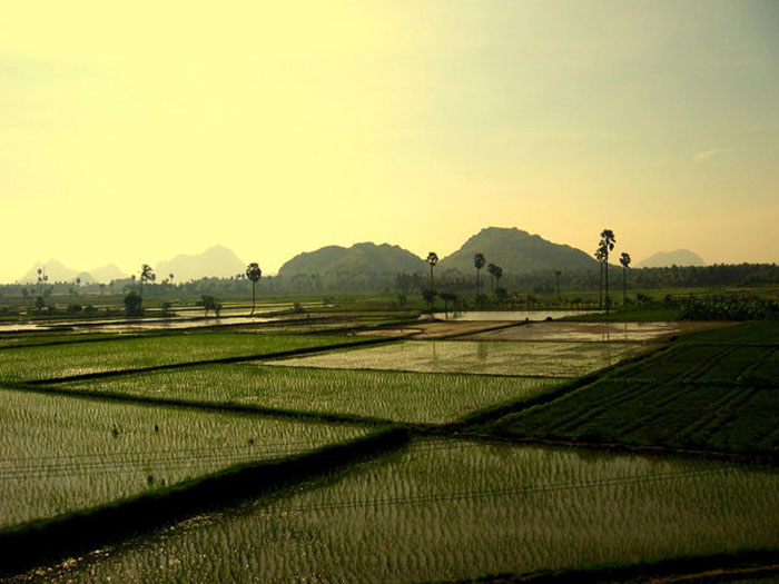 Paddy Fields by Anupamas