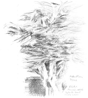 Macrocarpa tree sketch by Astrid Nielsch