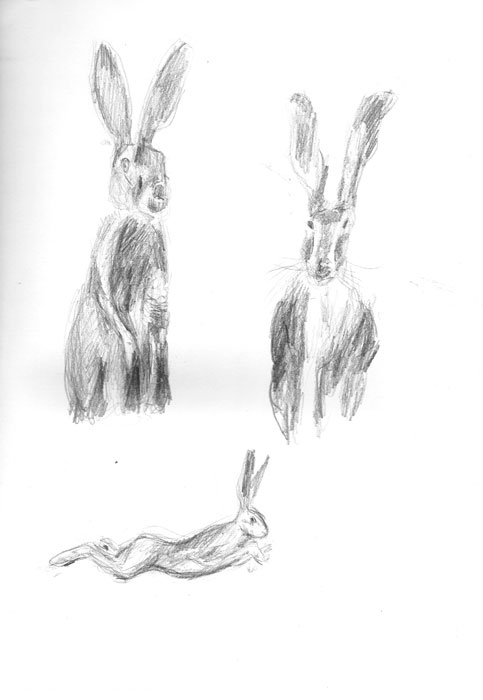 Hare studies: pencil and ink