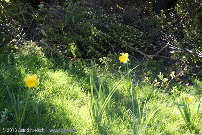Spring come early: blossoming trees, daffodils, new plants and new veggie beds