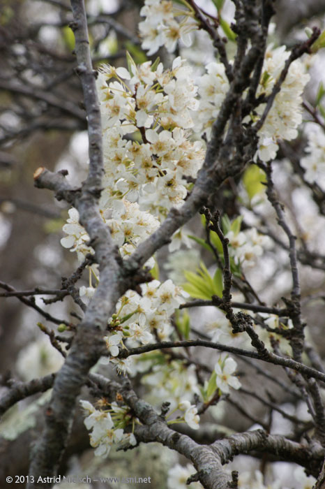 Spring in Asni's garden: blossoming fruit trees, young fruit, and a tragic death