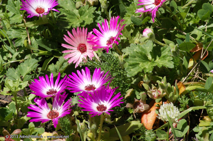 A profusion of ice plants
