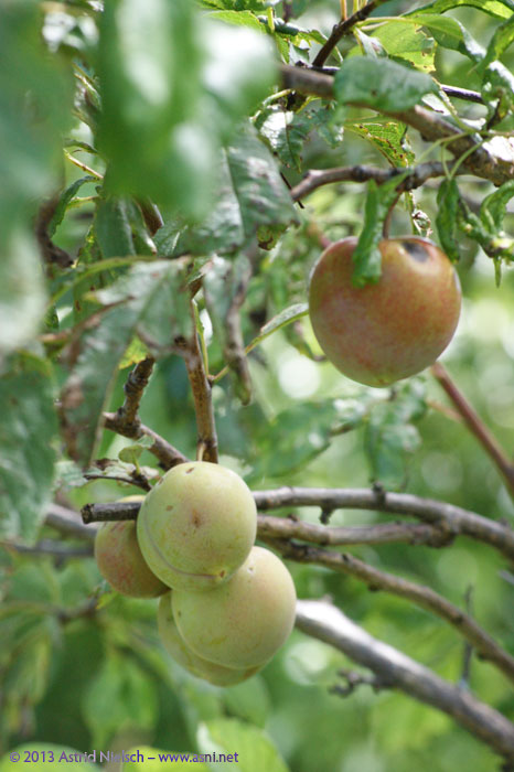 Asni's garden in December: fruit trees