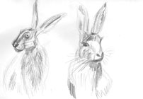 hare study by Astrid Nielsch