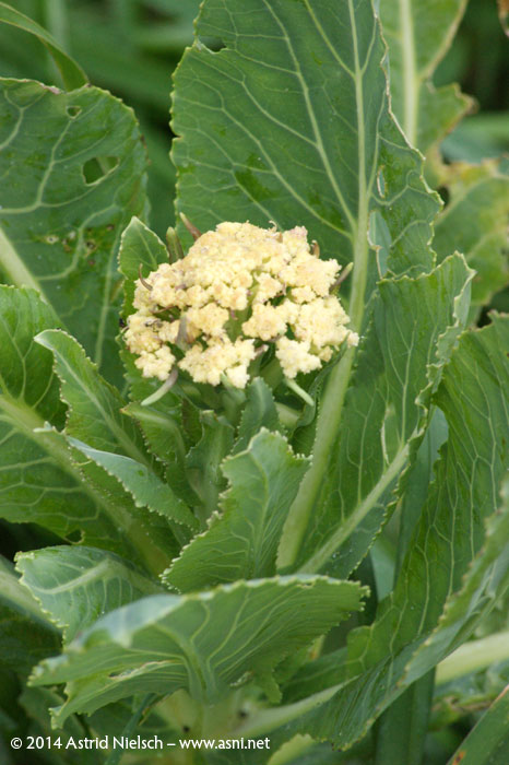 Asni's garden in June: baby vegetables and other edibles