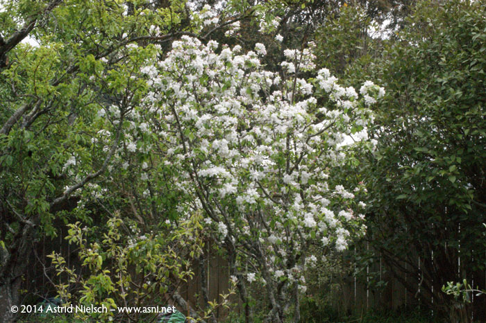 Asni's garden in October: apple blossom