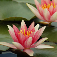 Waterlilies for the future! (maybe)
