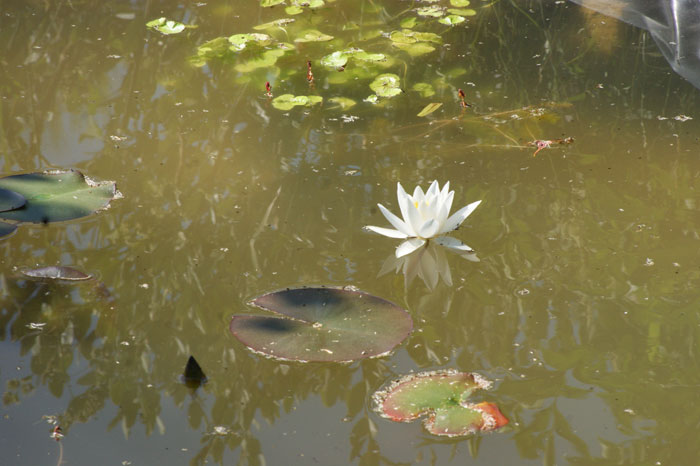 Asni's garden in December: Lilys, roses, and the first waterlily