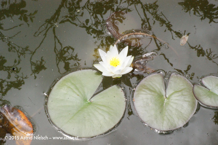 Asni's garden in January: waterlilies!