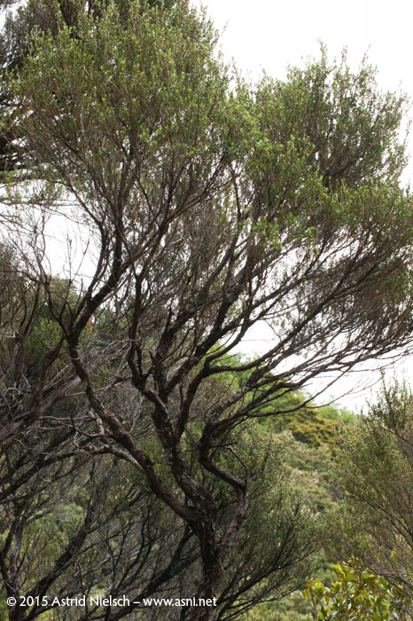 Dancing manuka and curious ferns