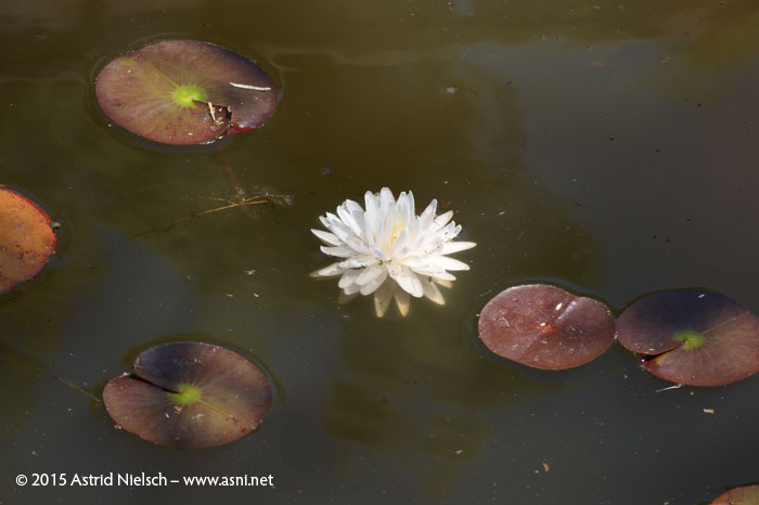 Waterlily Gloire du Temple-sur-Lot
