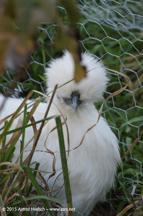 Tao the laid-back Chinese silkie