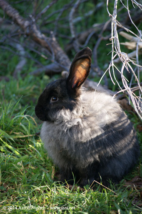 Cuteness contest: Te Po and Yin, the Giant Flemish rabbits, Masterton