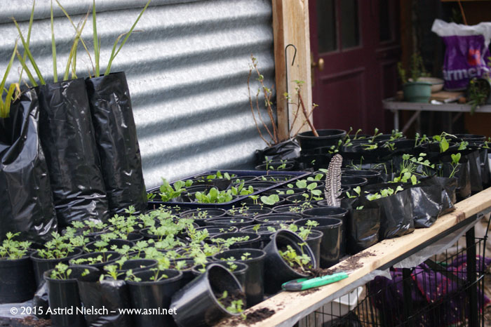 Asni's Garden in September: Seedlings, eggs, and a broody goose