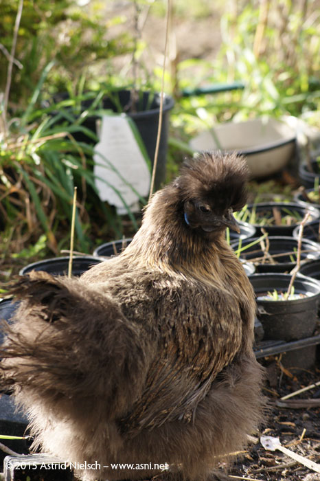Newbies: Sarasvati the peahen, Tiny Tim the sheep, Noodle the Indian runner duck, Mumrik the rabbit, and Bao the silkie pullet