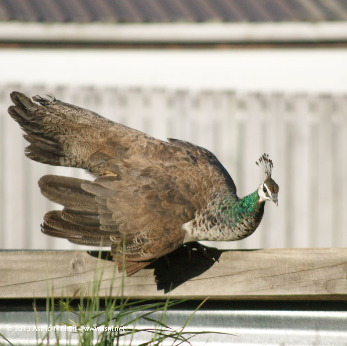 Let's see what's out there: Guinea fowl and peahen