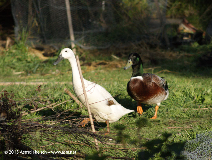 Duck romance: Welsh harlequin drake, Indian runner duck, blue Swedish duck