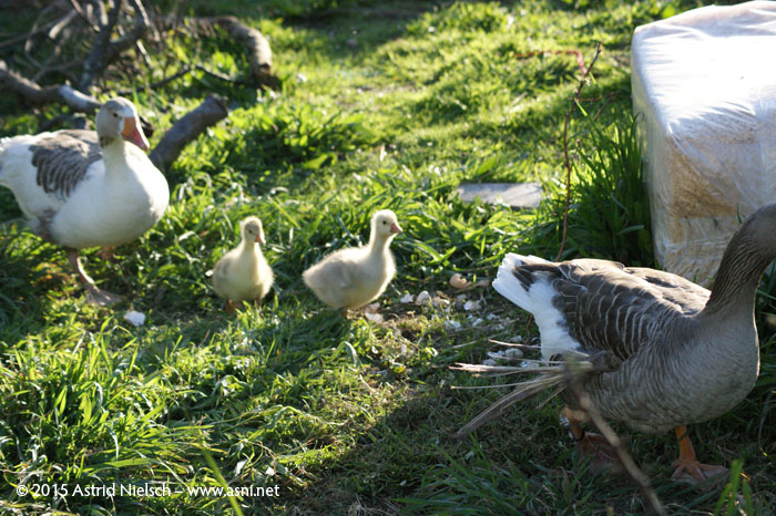 A modern goose family: mothers' bliss