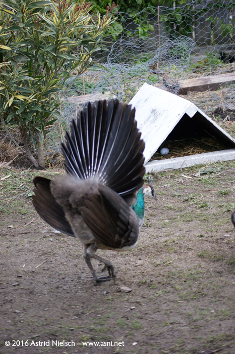 Peahen has a hissy fit