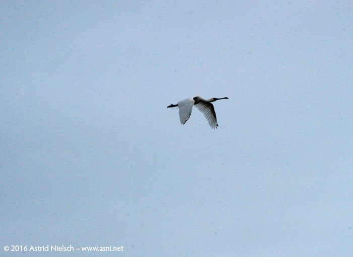 Royal spoonbill in flight, Kuku beach